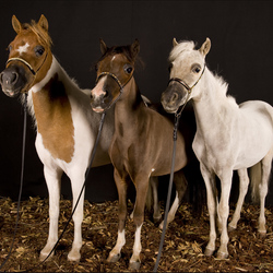 Mini horses in de studio