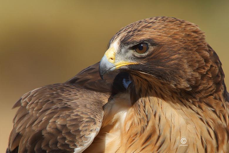 Roofvogel  close up - Close up van een roofvogel gemaakt tijdens een roofvogelshow in Nederland.<br /> Opname is gemaakt met het SONY G SSM 70 -300 m