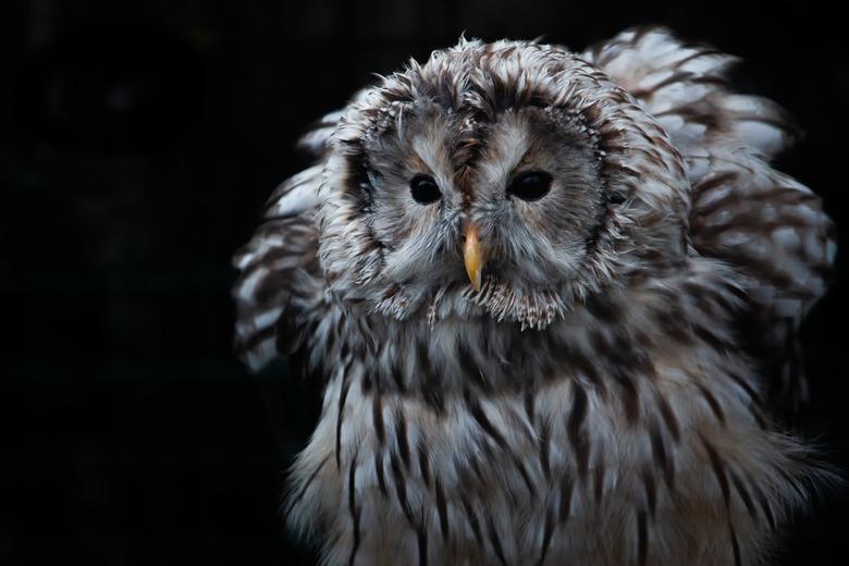 Owl in the night  - Uil die zich klaarmaakt om op jacht te gaan.