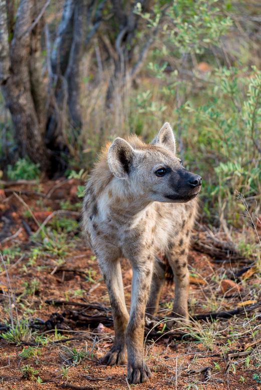 Gevlekte Hyena -