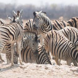 Zebra's (panorama)