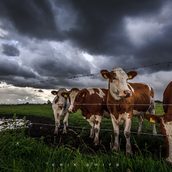 Cows in storm