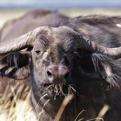 Stare down with a buffalo