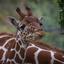 Jonge giraf .