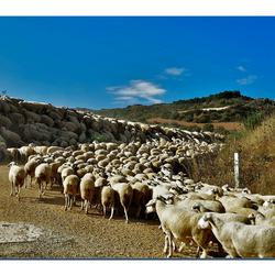 kudde schapen 1