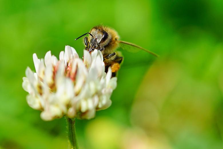 Bijtje - Zie de klont nectar aan haar acherpootje