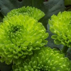 zacht groene bloemknoppen