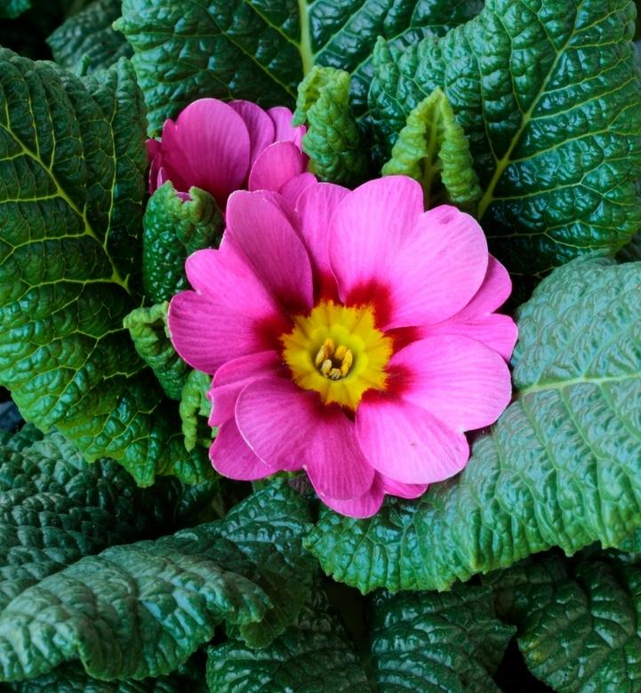 Primula. - Vandaag wat bloemen gehaald de kleuren maken je wel erg blij.