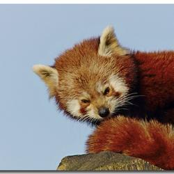 nog eentje van de rode panda