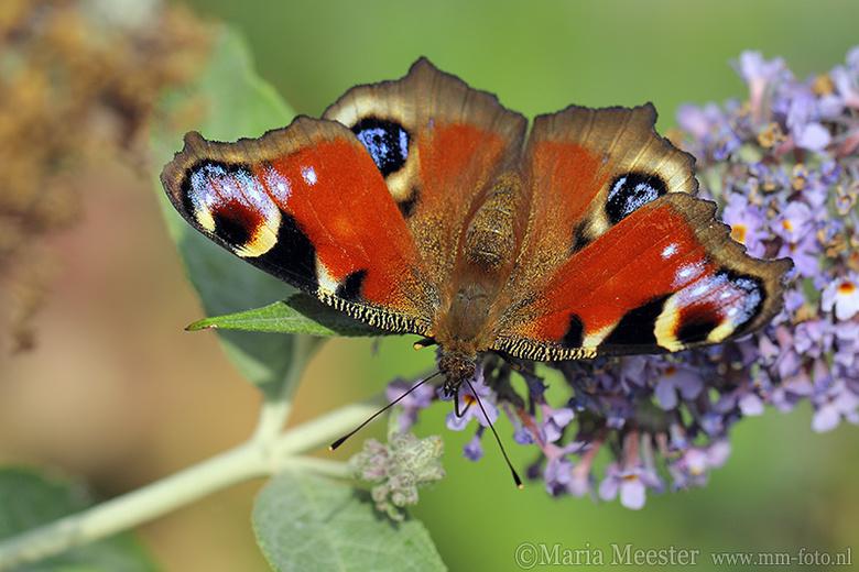 Dagpauwoog - Dagpauwoog vlinder op vlinderstruik.