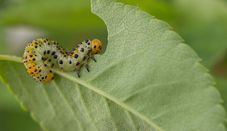 De Larve van de Rozenbladwesp..... - De rozenbladwesp zaagt een gaatje in een Roos (plant) en legt daarin eitjes. Als de bastaardrupsen uitkomen, begi