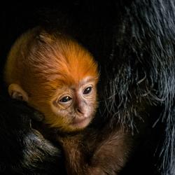 A newborn François langur photo 2