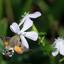 Kolibrievlinder op zeepkruid