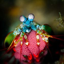 Peacock Mantis Shrimp die uitkijkt naar zijn eitjes.