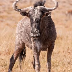 Mud-caked wildebeest