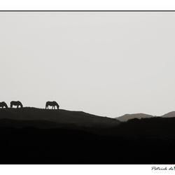 Wild Horses on Texel