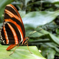 Dryadula phaetusa..