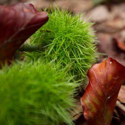 Groene kastanje bolster met rood blad