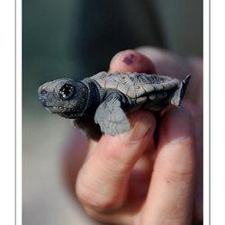 Keiko, the turtle