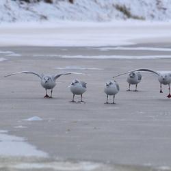 Meeuwen op het ijs