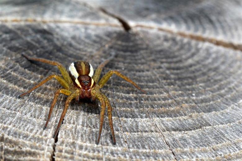 Ik ben niet bang voor je! - Het is net of de spin een me uitdaagt. Of liever gezegd de lens voor zijn neus. Kom maar op!!<br /> <br /> om die reden