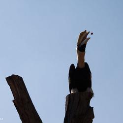Dubbele-Neushoornvogel