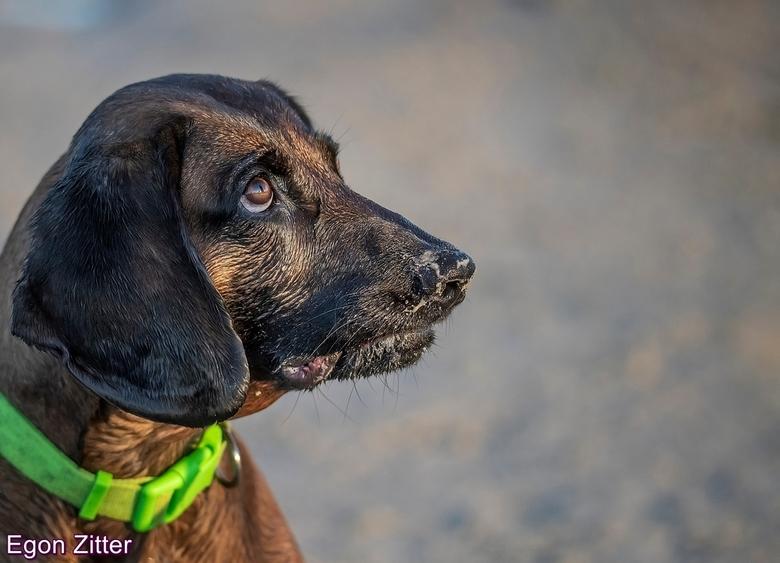 de blik - typische hondenblik