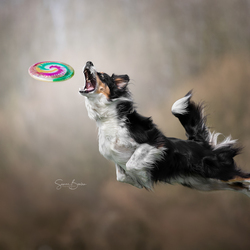 Frisbeehond Chester