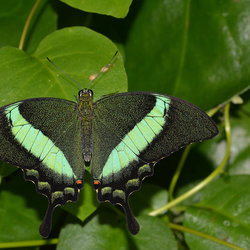 Papilio Palinurus.