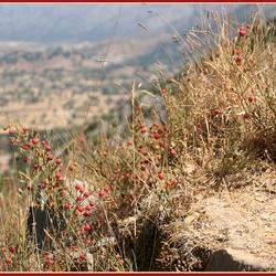 Struikjes op berg Psychro bij Lassithi plateau