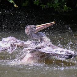 Roze gesteunde pelikaan