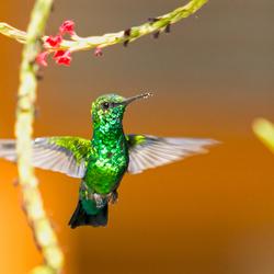 Kolibrie op Curacao