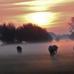Koeien in mist 's morgens