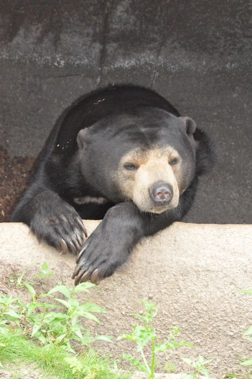 maleise beer - gemaakt in burgers zoo.<br /> je wordt er toch niet goed van al die mensen die me aan lopen te gapen.