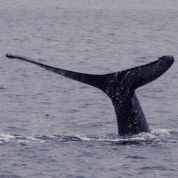 Husavik humpback