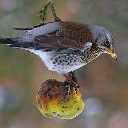 Kramsvogel met appel