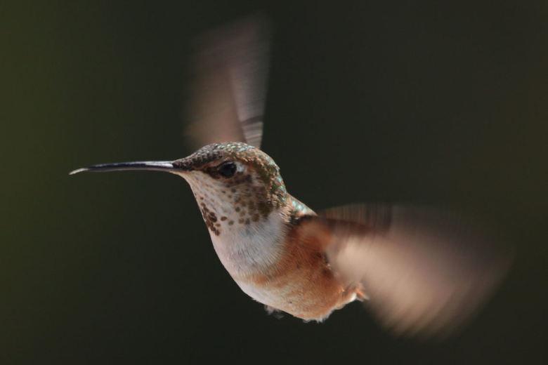 Hummingbird - Vorige week ben ik teruggekomen van een vakantie in West-Canada. Als vogelliefhebber had ik mij uiteraard zeer verheugd op de kolibrie (