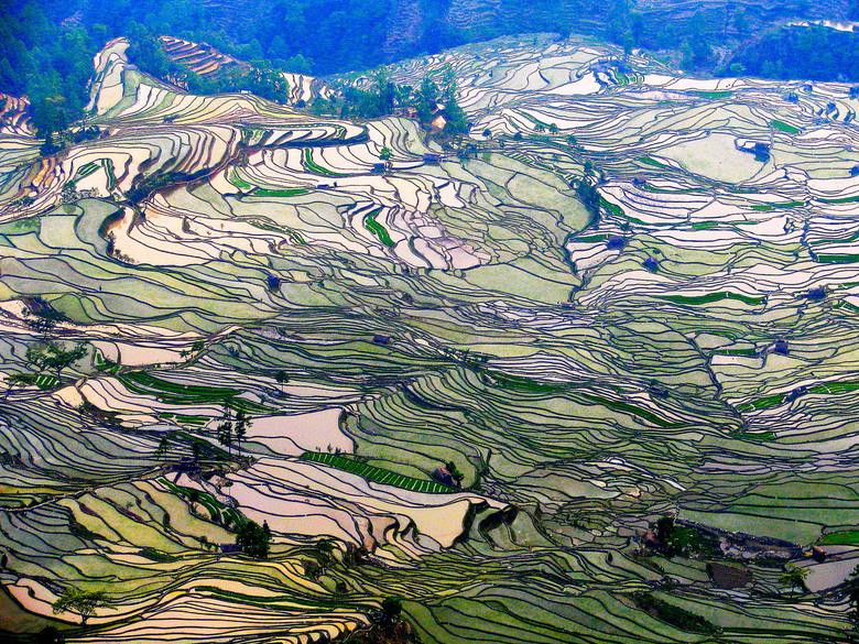 golvende rijstvelden