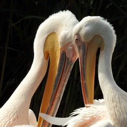 True pelican love