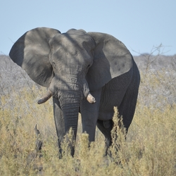 Olifant in Etosha NP