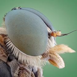 Portret van een Snipvlieg (Rhagio scolopaceus)