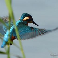 Fisherman's Wings