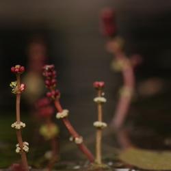 bloeien in de vijver