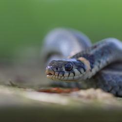 Grassssssss snake