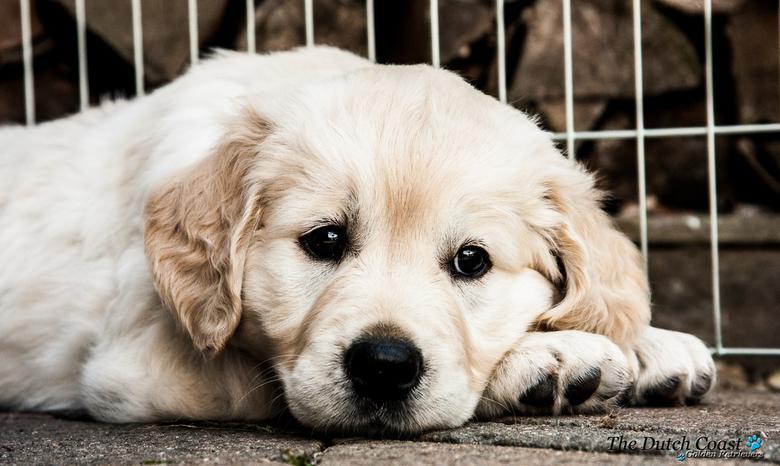 Dromerige pup - Golden Retriever pup van zes weken oud.