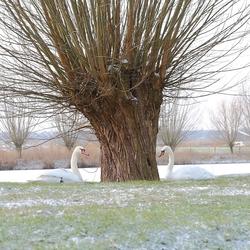 Knobbelzwanen wintersplaatje
