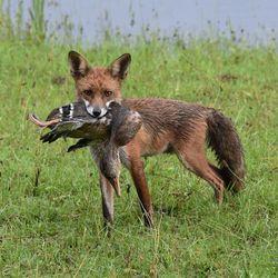 Jonge vos en eend