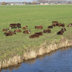 P1100258  schapen langs kralingerpad 16 jan 2020