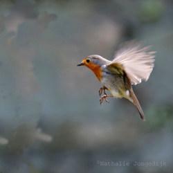 Vliegend Roodborstje