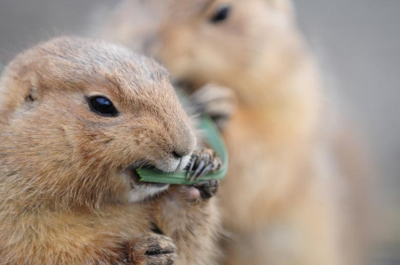 Etende Stokstaartjes - Foto van twee stokstaartjes die een grasstengel delen.